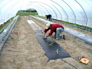 Transplanting tomatoes in biodegradable mulch test plots under high tunnel.