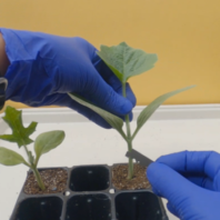 Cutting squash rootstock with both cotyledons removed for watermelon splice grafting