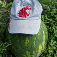 Mature grafted watermelon fruit in the field
