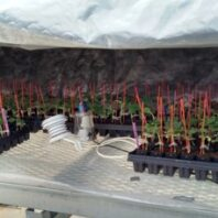 Grafted watermelon plants inside a healing chamber in the greenhouse