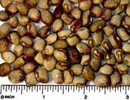 Amish Knuttle beans