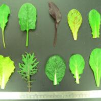 Ten leafy greens varieties