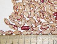 Francis Kring dry beans