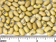 Hutterite beans