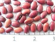 NW-63 dry bean