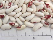 Red Coat Soldier beans