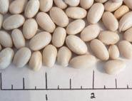Romall dry beans
