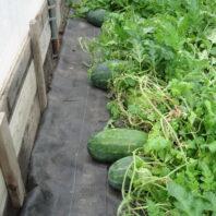 watermelon on farm