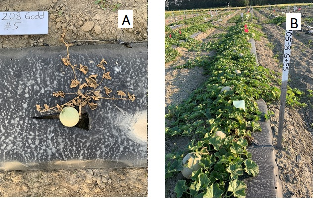 Grafting melons in a field