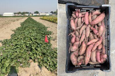 sweetpotato field and freshly harvested sweetpotatoes in a basket