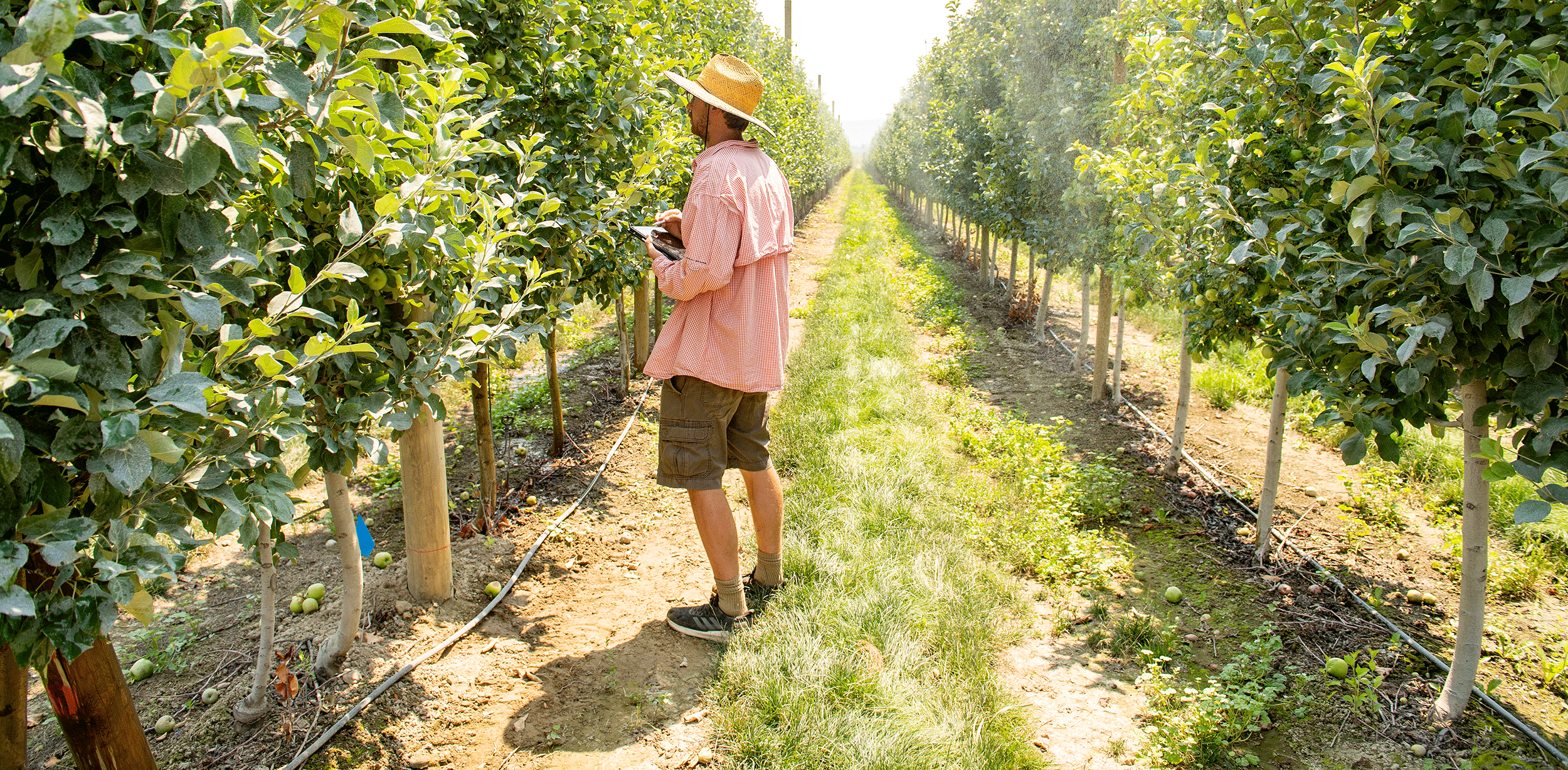 A worker inspecting produce in an orchard using a tablet.