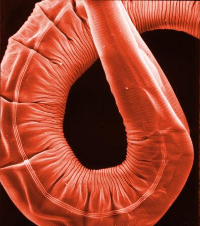 C. elegans EM photo
