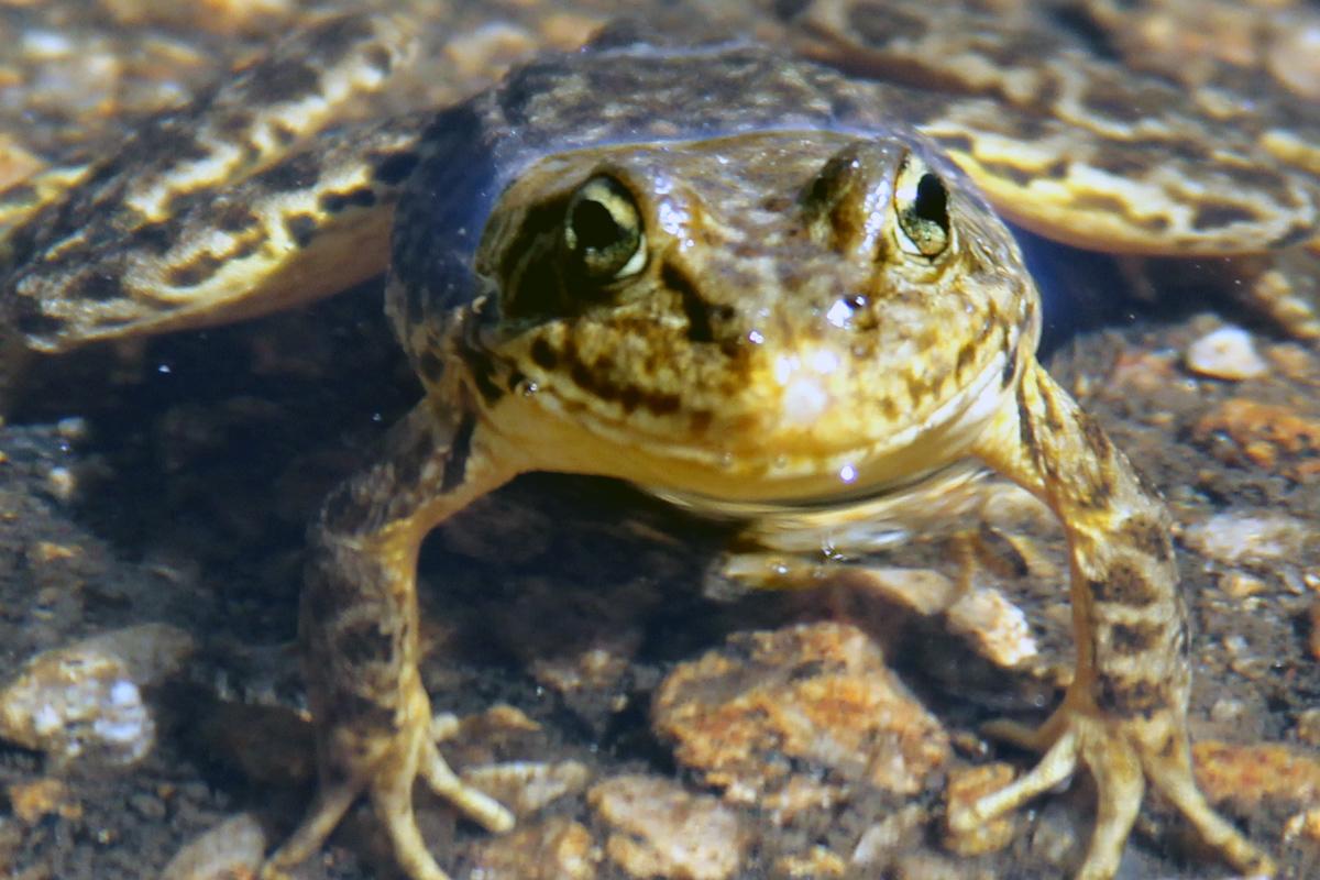 A mountain yellow-legged frog. Photo by Michael Hernandez.