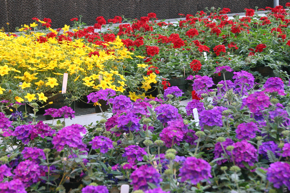 Flats of flowers for WSU's annual Mom's Weekend Plant Sale