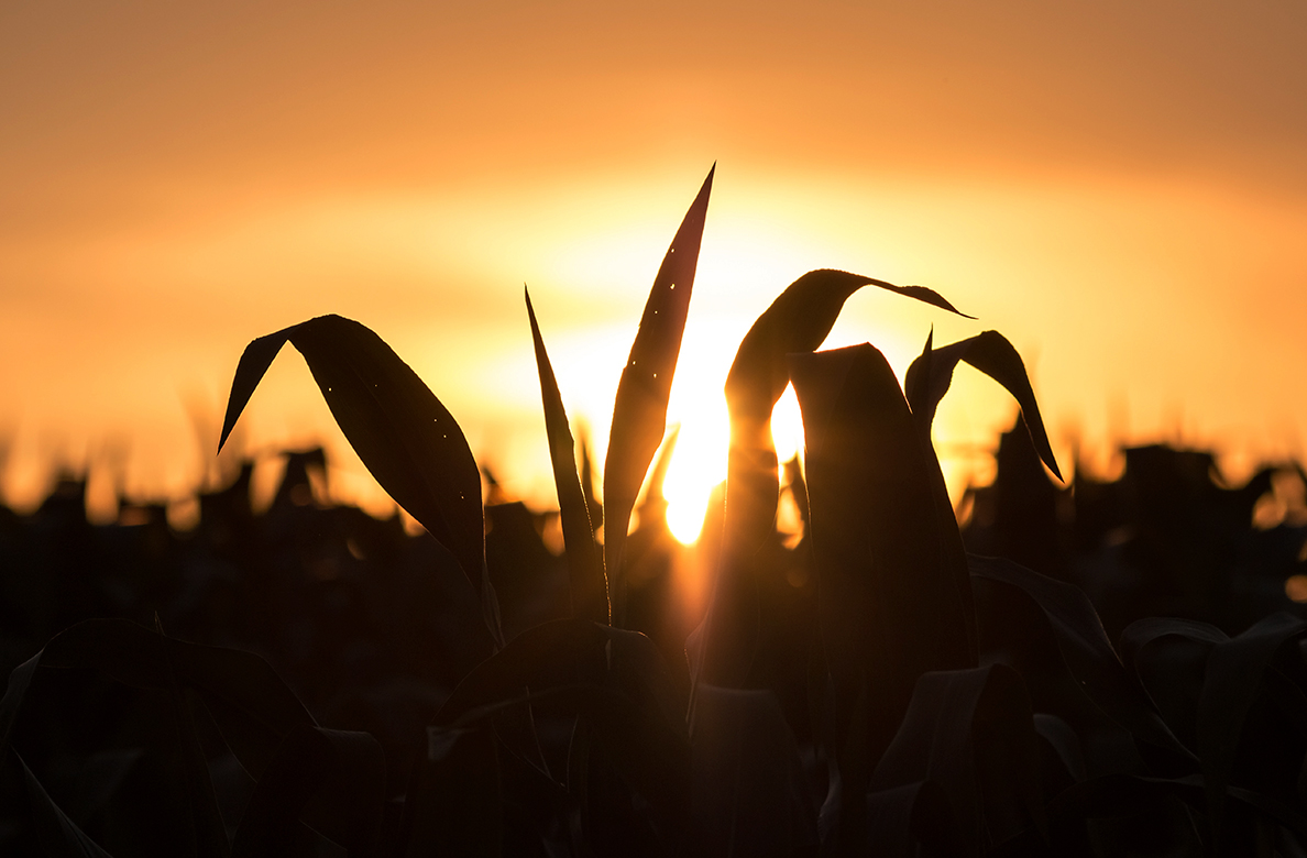 Silhouette of cornfield as sun sets in distance.