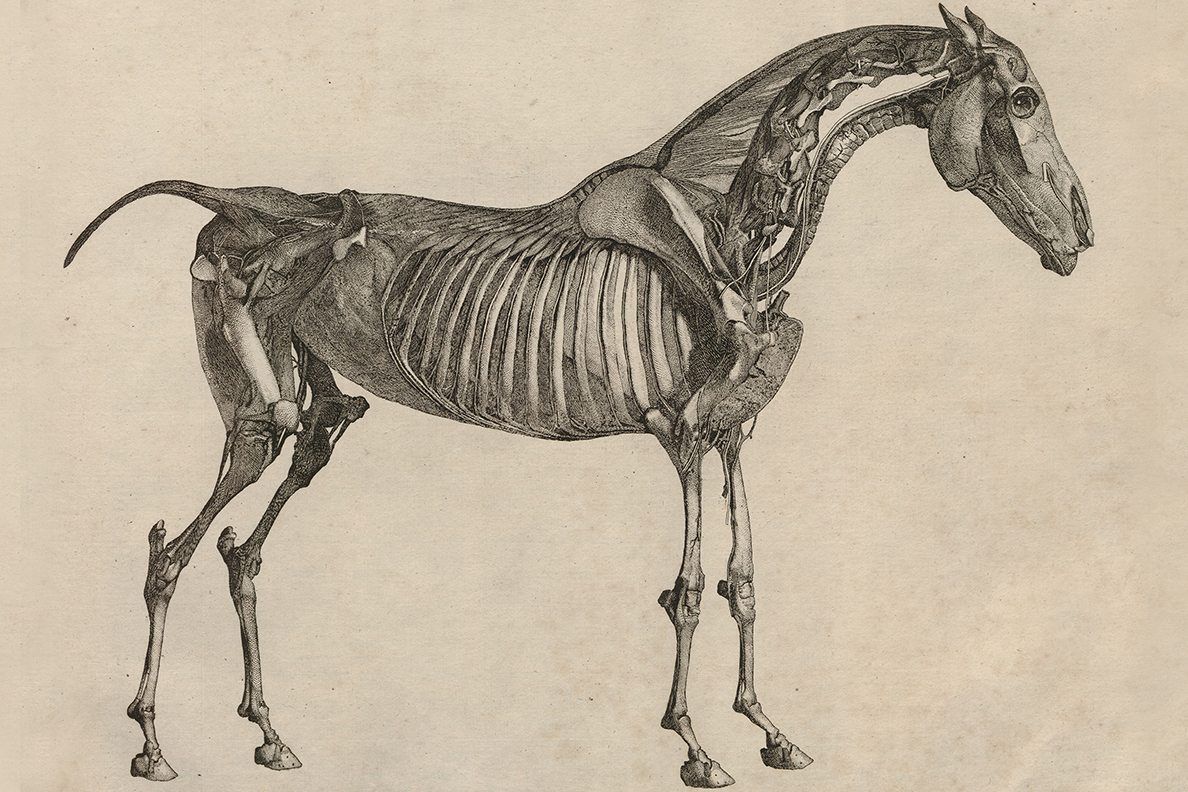 Historic drawing of horse anatomy.