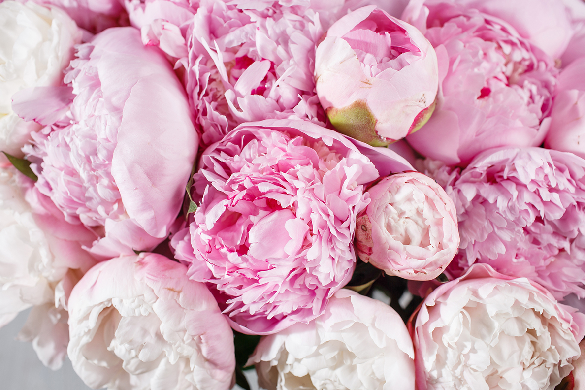 Closeup of a bouquet of peony flowers.