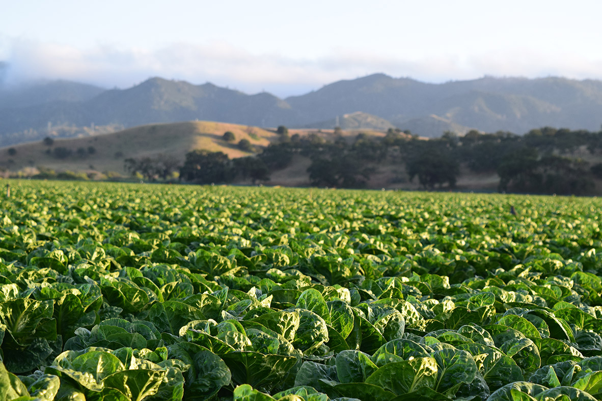 A field of crops with hills in the distance.