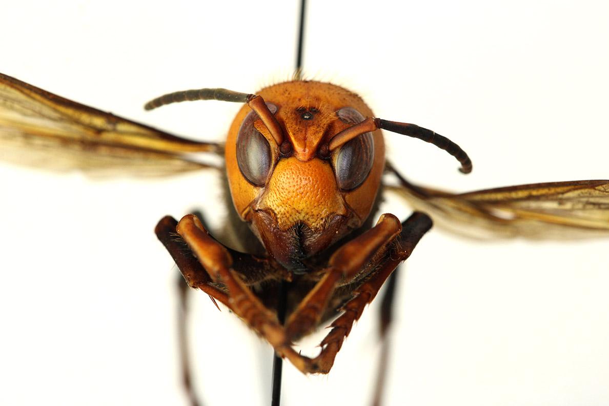 Closeup of Asian giant hornet.