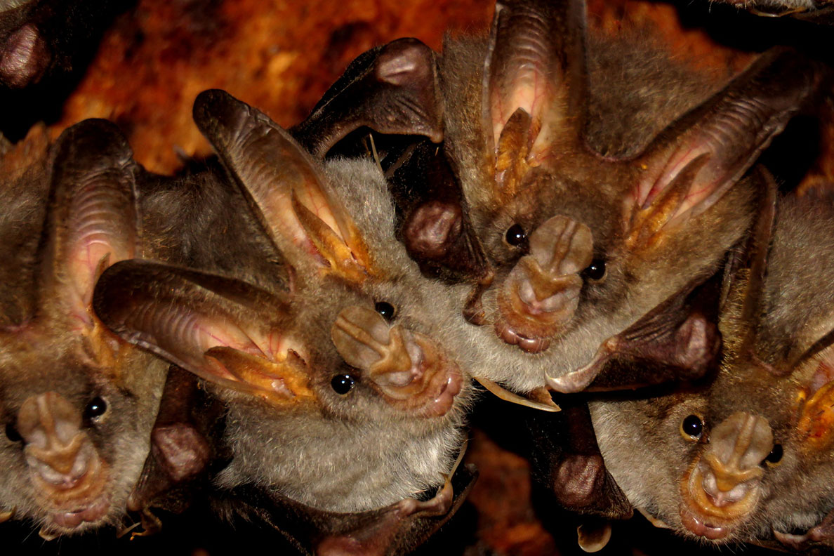 Bats hanging upside down with faces pointed toward camera.