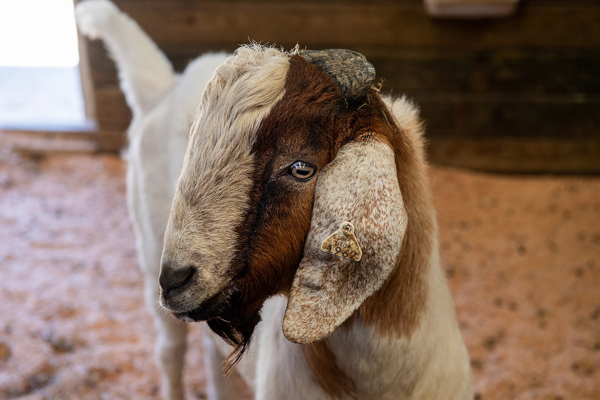 A white and brown goat in profile