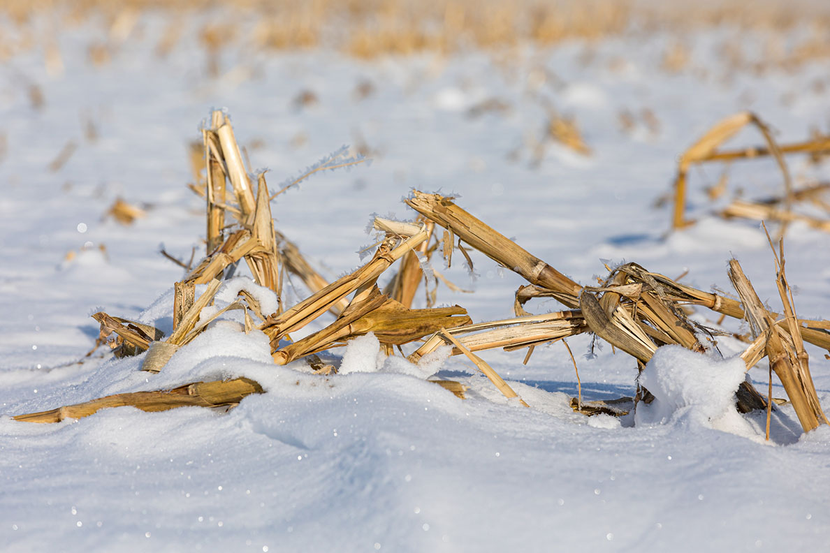 Remnants of a harvested corn field covered in snow.