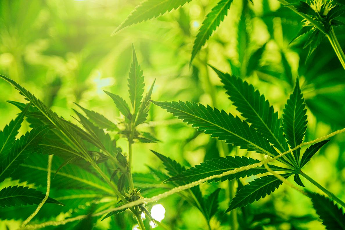 Closeup of several marijuana plants.