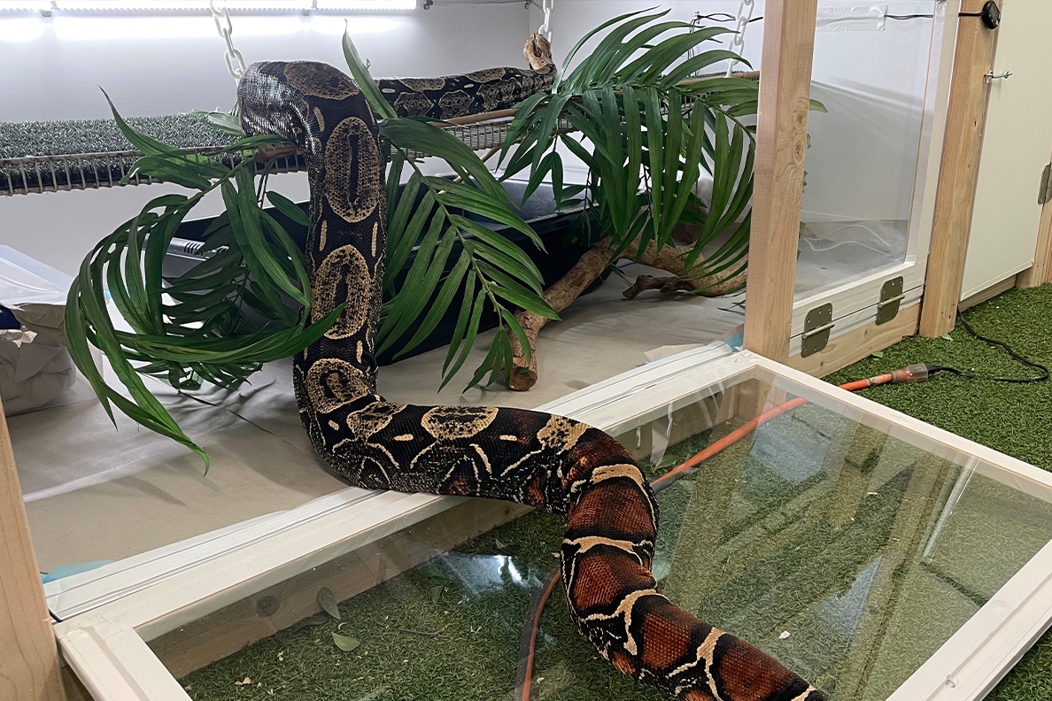 A large snake climbing into its cage.
