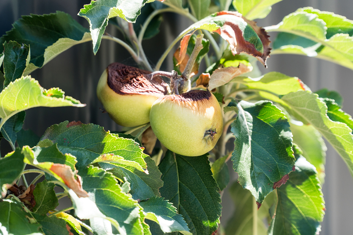 Apples on a tree with damage from hot sun and drought