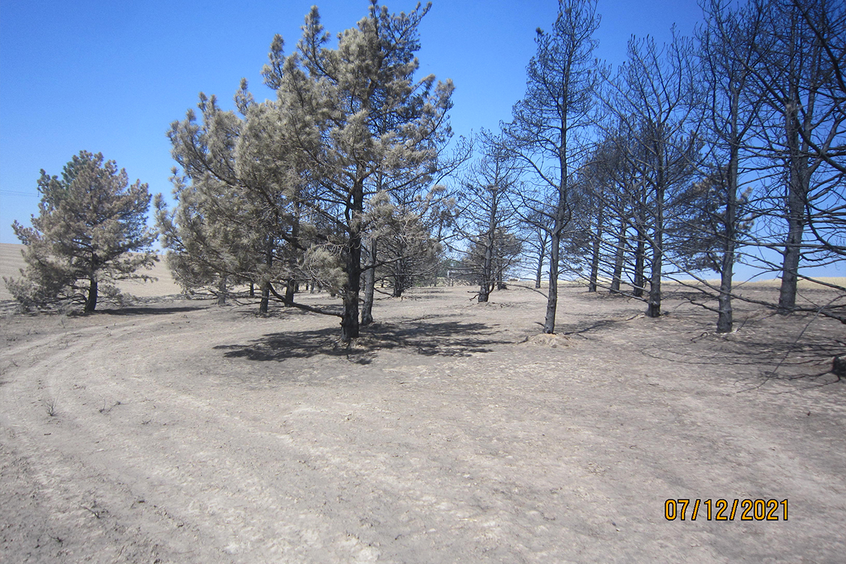 Burned Austrian Pines at the Lind Research station.