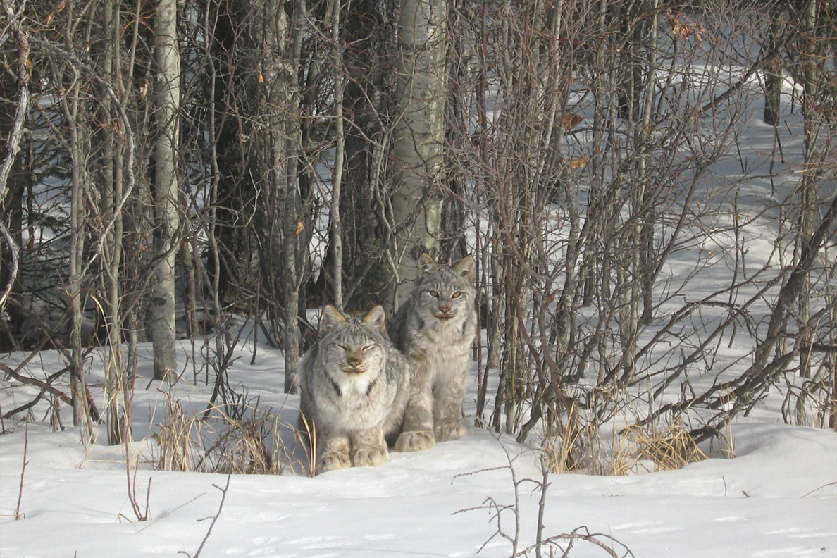 Two lynx lay in the snow in a forest