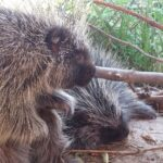 Closeup of two porcupines.