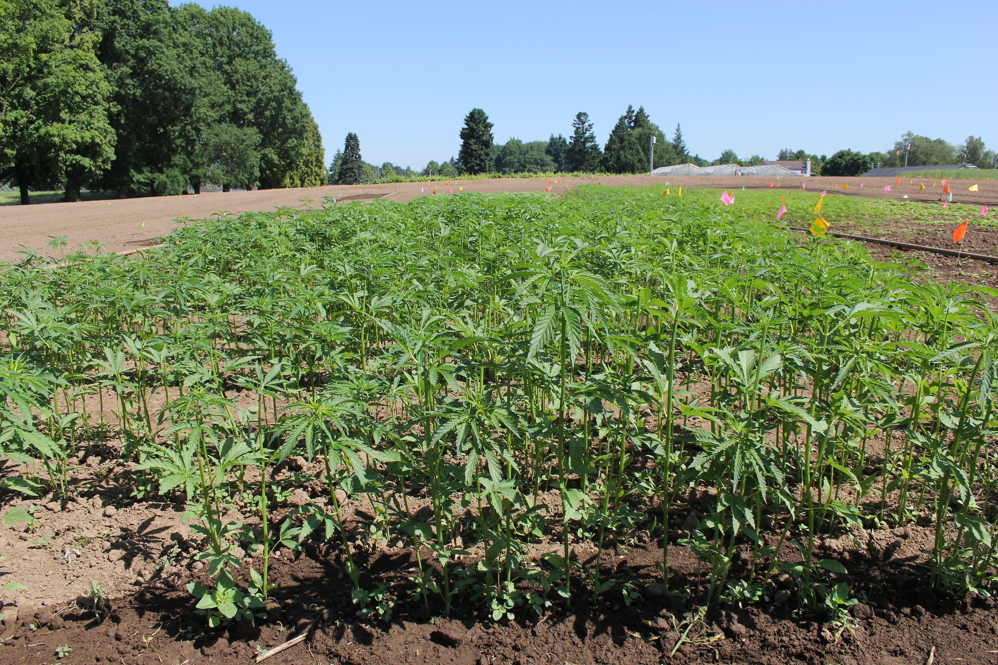 Hemp plants in a research plot