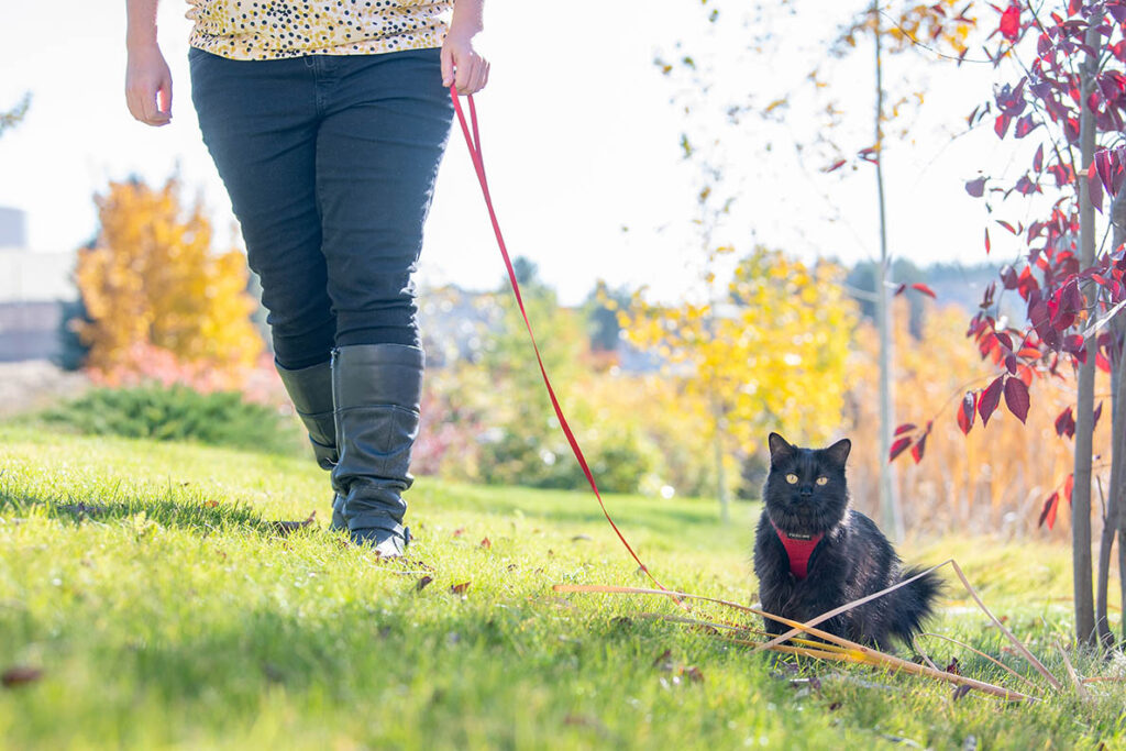 A black cat being walked on a leash