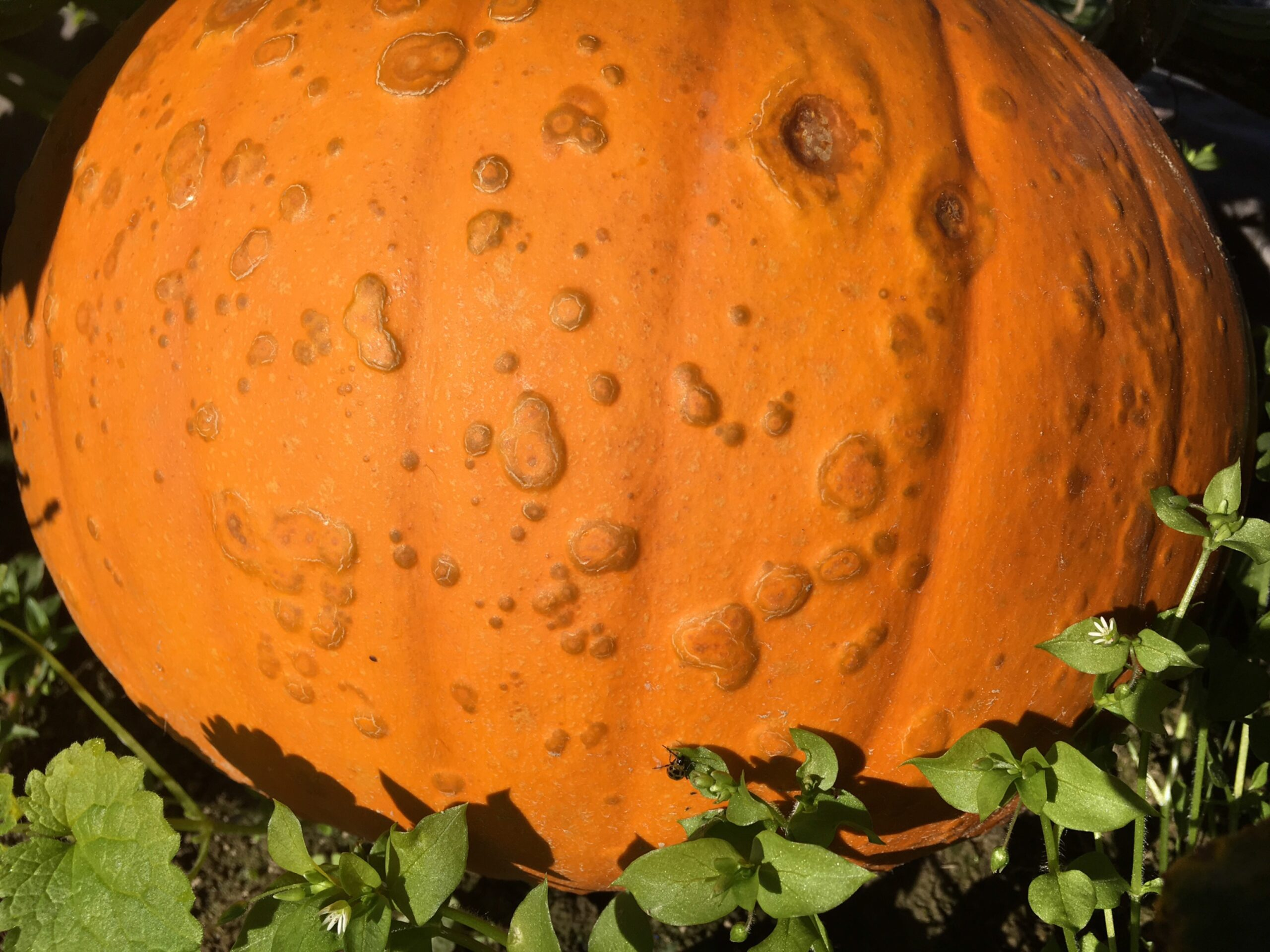 Warts cover a pumpkin infected with a bacterium, Pseudomonas syringae