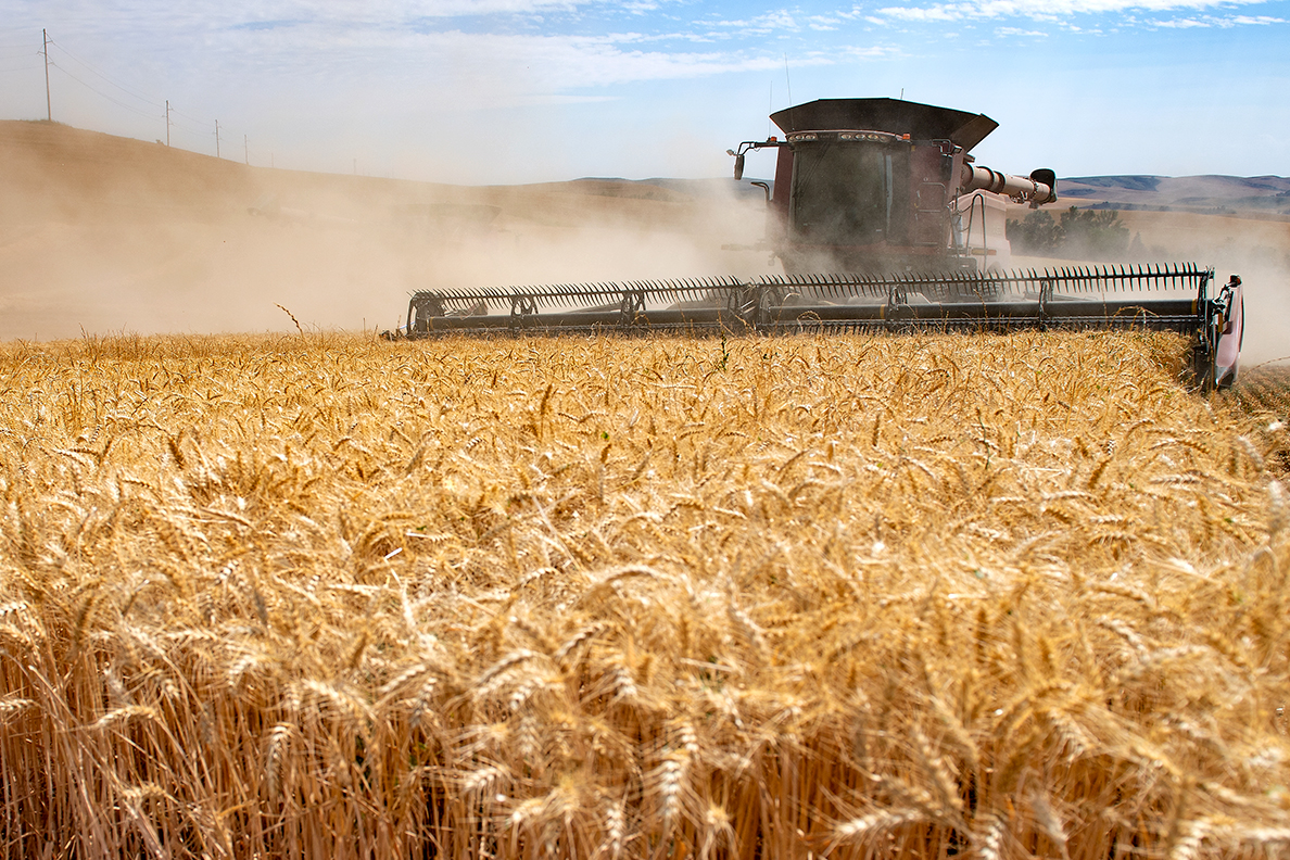 A combine harvesting a wheat field.