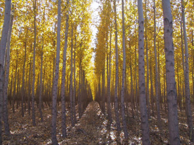 Purdue researchers believe that hybrid poplars and similar trees planted like row crops could be processed into ethanol as an alternative fuel. (Photo courtesy of Jake Eaton, plant materials manager, Potlatch Corp.)