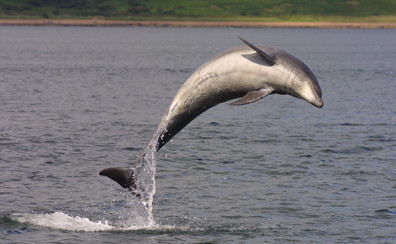 A bottlenose dolphin leaps out of the water in Scotland's Moray Firth. Photo by David Lusseau, University of Aberdeen
