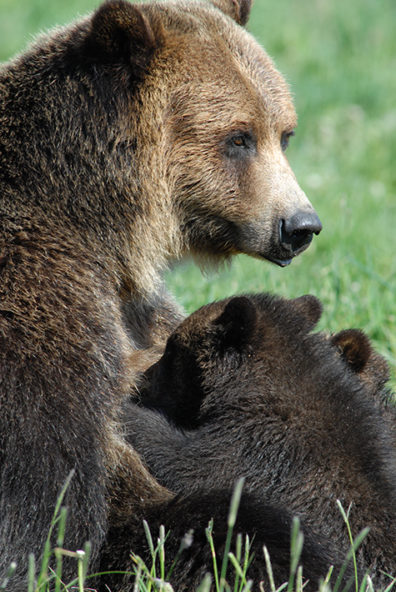 A bear sow and cubs at the WSU Bear Center