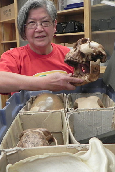Charlotte Omoto prepares the cast of an early humanoid skull for use in elementary science education.