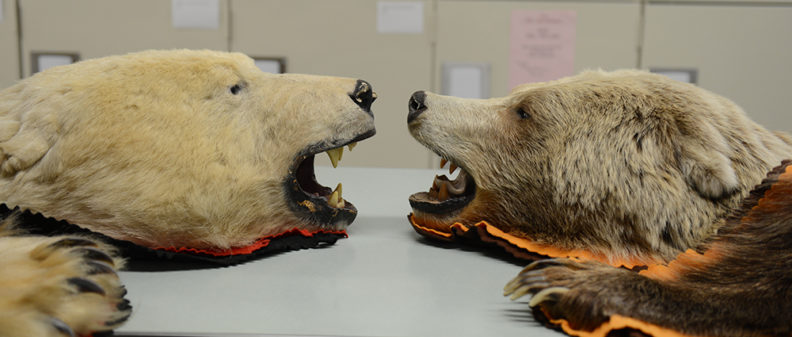 Two of the museum's bearskin rugs: Wagner's polar bear (left) and a grizzly.
