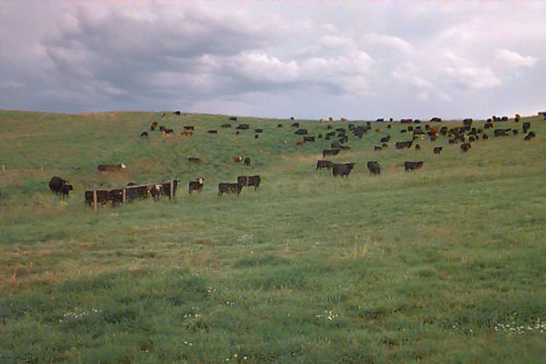 Cattle on the Palouse
