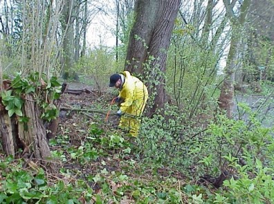 Clearing invasive shrubs from the site.