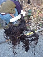 Poor root systems from two of the plants. The problem roots were pruned prior to installation.