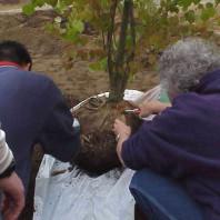 Preparing the katsura (Cercidiphyllum japonicum) for installation.