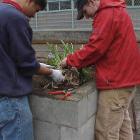 Cleaning soil off roots in preparation for installation.