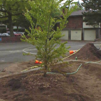 Watering in the newly installed tree.