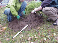 Removing container soil from roots prior to installing a tree.