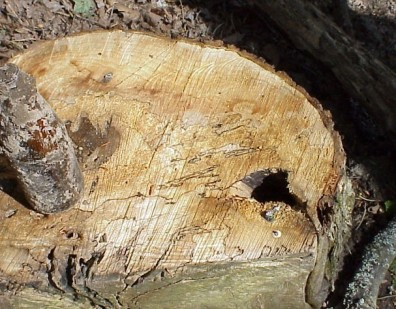 Evidence of the rot and fungi that were killing these hazardous trees.