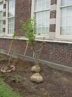 B and B vine maples waiting to be installed.